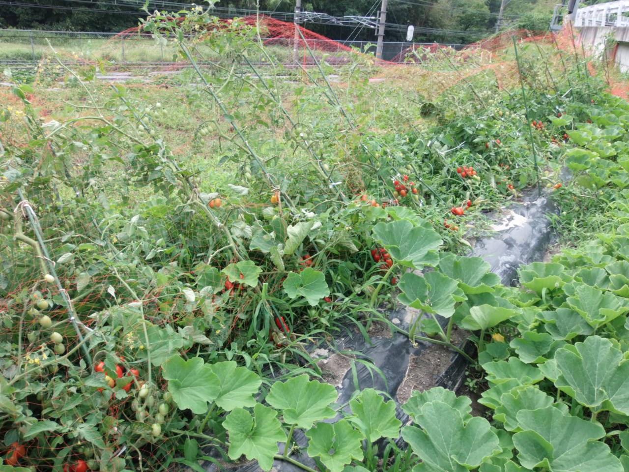 台風で倒れたトマト